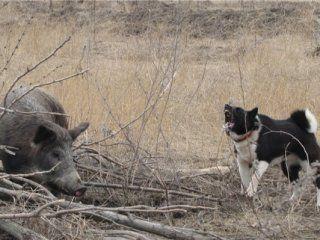 Полювання на кабана з собаками