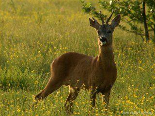 Полювання на козулю з манком