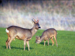 Полювання на козулю з підходу