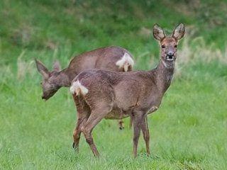 Полювання на козулю загоном