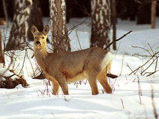 Полювання на козулю взимку