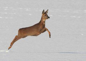 облавне полювання на козулю