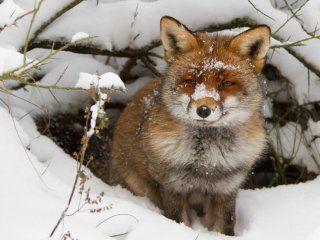 Полювання на лисиць в норах