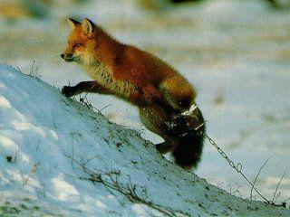 Полювання на лисицю капканами