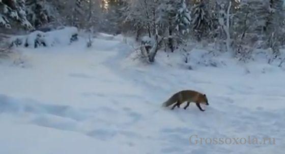 Полювання на лисицю у привади
