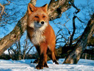 Полювання на лисицю на приваде