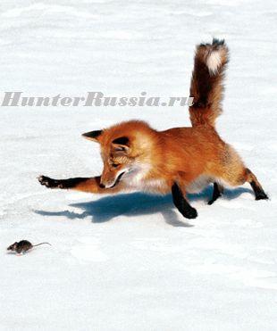 Полювання на лисицю з гончими