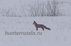 Полювання на лисицю з манком