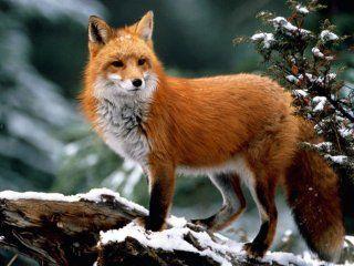 Полювання на лисицю скрадом