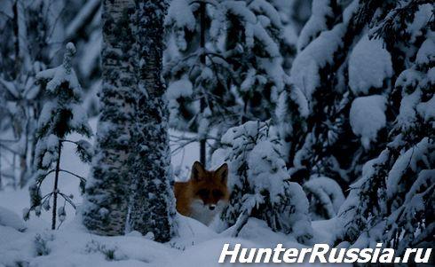 Полювання на лисицю зимової ночі на приваде