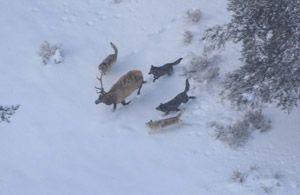 Тактичні прийоми при полюванні на лося