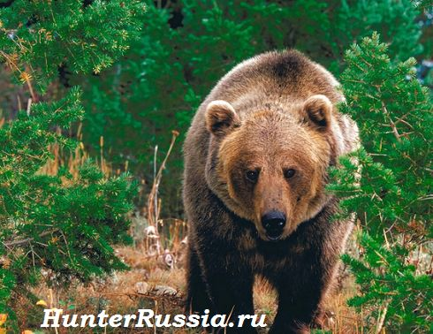 Полювання на ведмедя на барлозі. Опис + відео