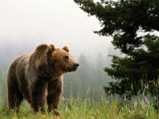 Полювання на ведмедя з підходу