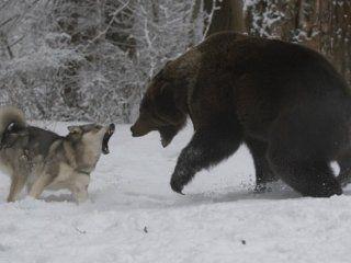 Полювання на ведмедя з собаками