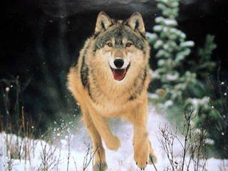Полювання на снігоходах на вовка
