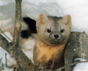 Зимова полювання на соболя