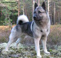 порода собак лайка