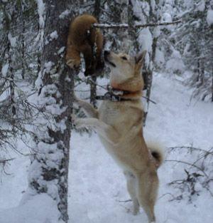 Полювання на соболя з собаками