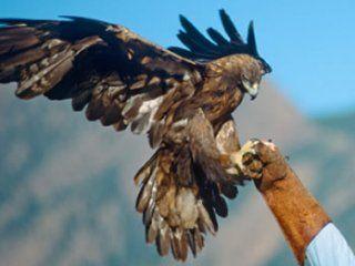 Полювання на тетерева з ловчим птахом