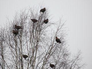 Полювання на тетеревів (косачів) з під`їзду