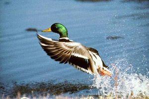 Полювання на качку і селезня навесні