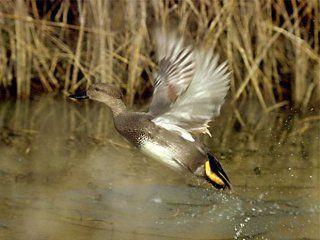 Полювання на качку з підходу на вилетку
