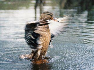 Полювання на качок восени