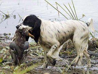 Полювання на качок з собакою
