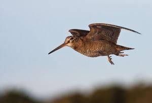 Полювання на вальдшнепа навесні