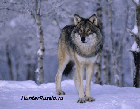 Полювання на вовка. Частина 1. Полювання з прапорцями і полювання на вабу