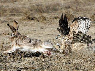 Полювання на зайця ловчими птахами