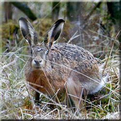 Охoта на зaйца, полювання на зайця і лисицю, полювання на лисицю