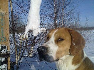Полювання на зайця з гончими
