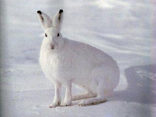 Полювання на зайців взимку троплением