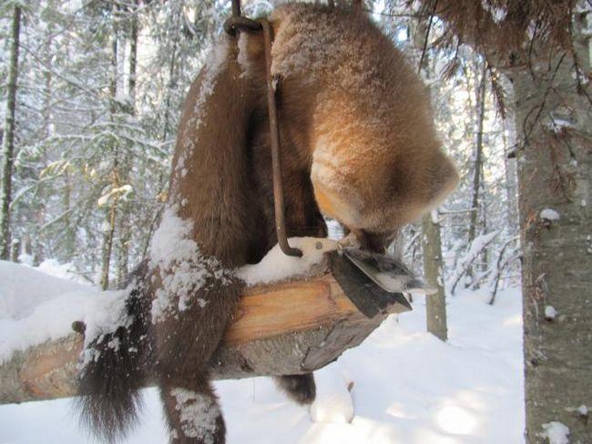Полювання з самоловами - опису всіх типів, принцип дії і на яку дичину можна використовувати
