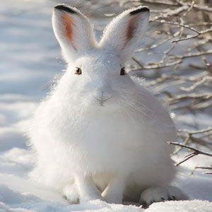 Мисливський розповідь «заєць біляк»