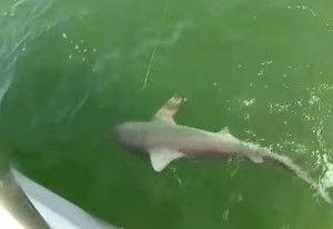 Окунь у флориді проковтнув акулу з першої спроби