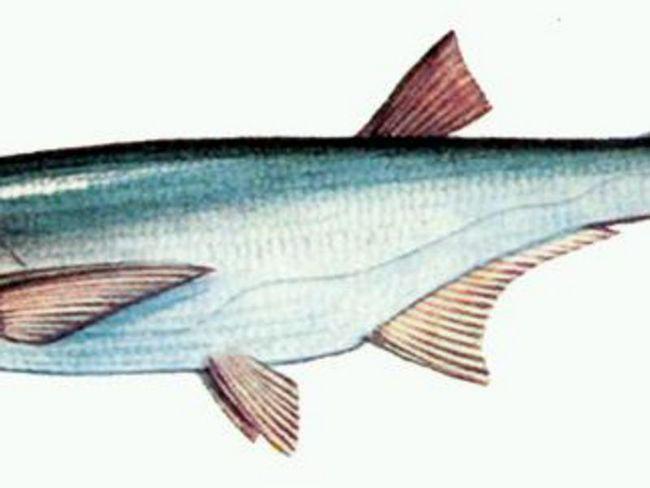 Розміри риби чехонь