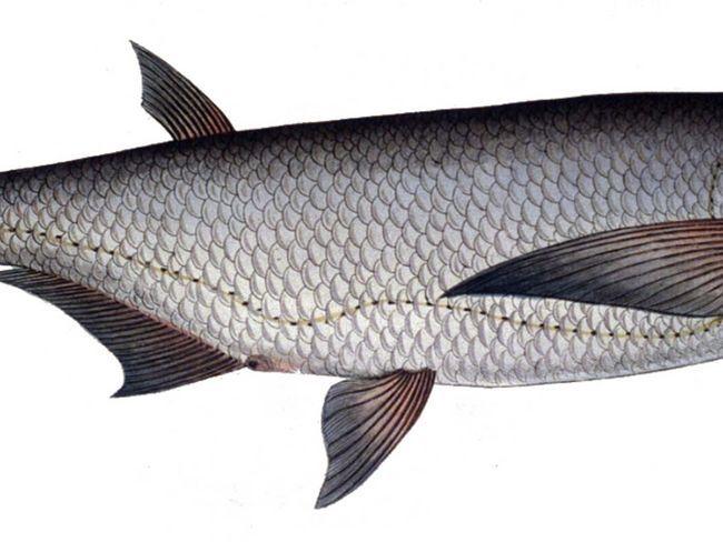 Опис риби чехонь