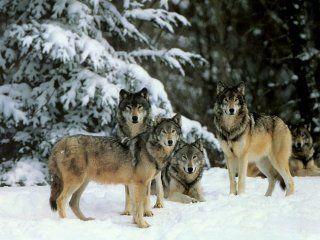 Основні способи полювання на вовка