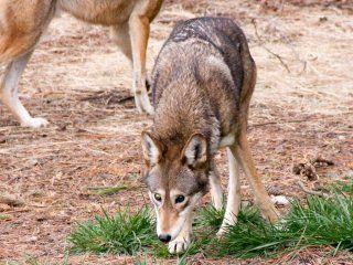 Основні способи полювання на вовків в літній час