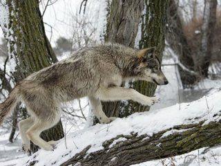 Особливості полювання на вовків скрадом