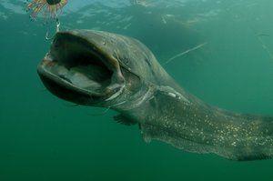 Особливості підводного полювання на сома