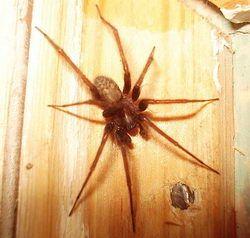 Павук будинковий