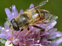 Пчеловідка звичайна