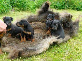 Первинна дресирування всіх порід мисливських собак - як виховати собі друга і помічника
