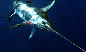Підліток побив рекорд з ловлі меч-риби огляд