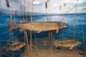 Підводний світ вологодчіни в одній експозиції