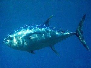 Користь і шкода тунця для здоров`я людини