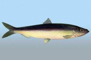 Користь оселедця - що цінного в цій рибі?